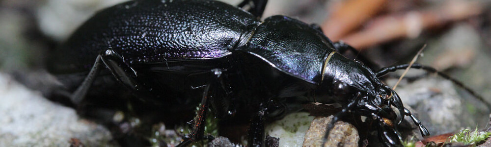A picture of a ground beetle that is scurrying across the ground through the leaves.