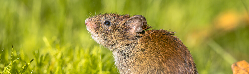 A picture of a vole in the grass
