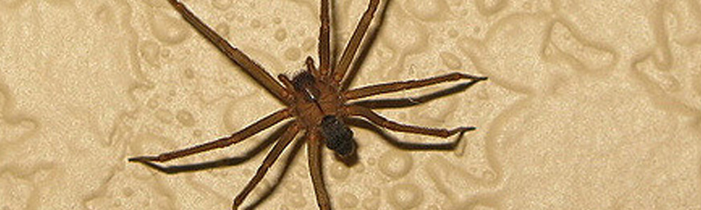 A picture of a brown recluse spider