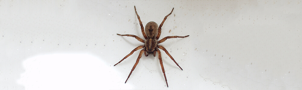 A picture of a wolf spider