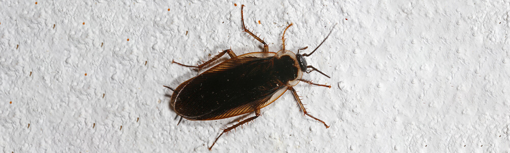 A picture of a Pennsylvania Wood Cockroach that is on the ground inside of a house.