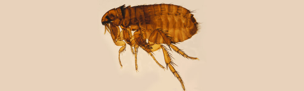 A picture of a flea on its side, translucent.