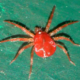 A picture of a spider mite to help identify