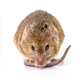 A picture of a mouse to help identify the rodent you saw in your house or yard.