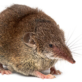 A picture of a shrew on a white background