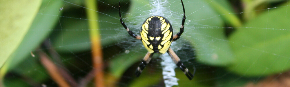 A picture of a garden spider