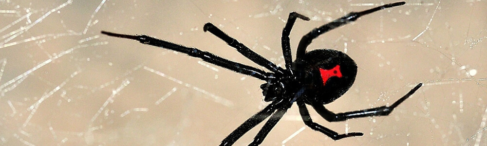 A picture of a black widow