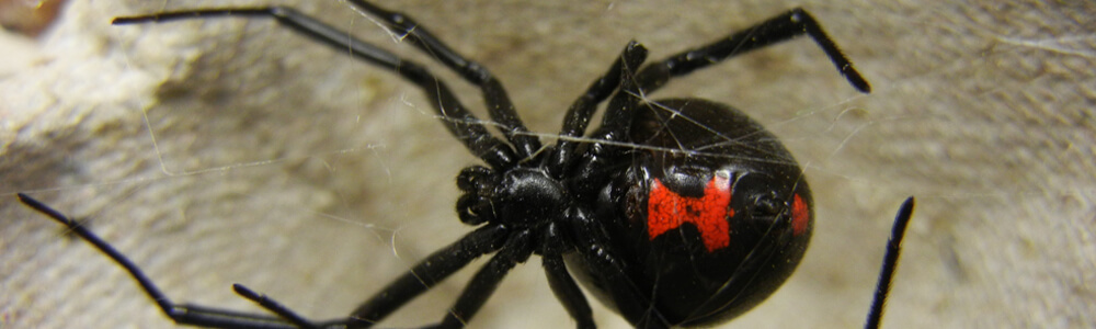 A picture of a black widow spider