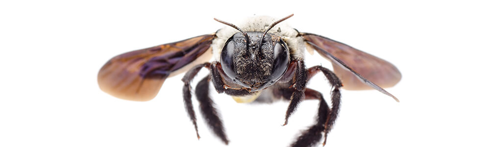 A picture of a carpenter bee flying towards you.